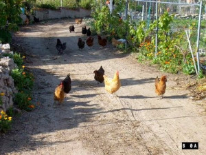 Chickens on road