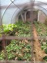 Eggplant in greenhouse