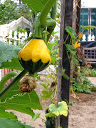 yellow and green squash